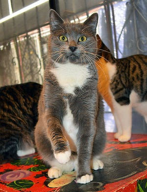 Tia has a very easygoing personality, and she seems to get along pretty well with the other cats that she's in a room with.