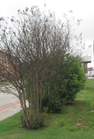 Weather damaged crape myrtle trying to recover.