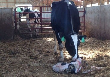 Some farmers prefer individual calving pens, but as cow numbers increase, that that can be a problem. One farmer created a hybrid area that has improved calving performance.