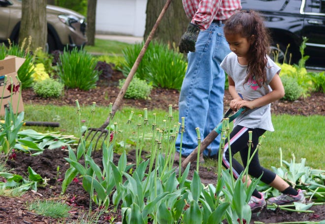Ariel Wilkerson helps her uncle Warren Wilkerson harvest tulip bulbs during Holland in Bloom's Tulip Dig fundraiser on Saturday, May 22, at Centennial Park.