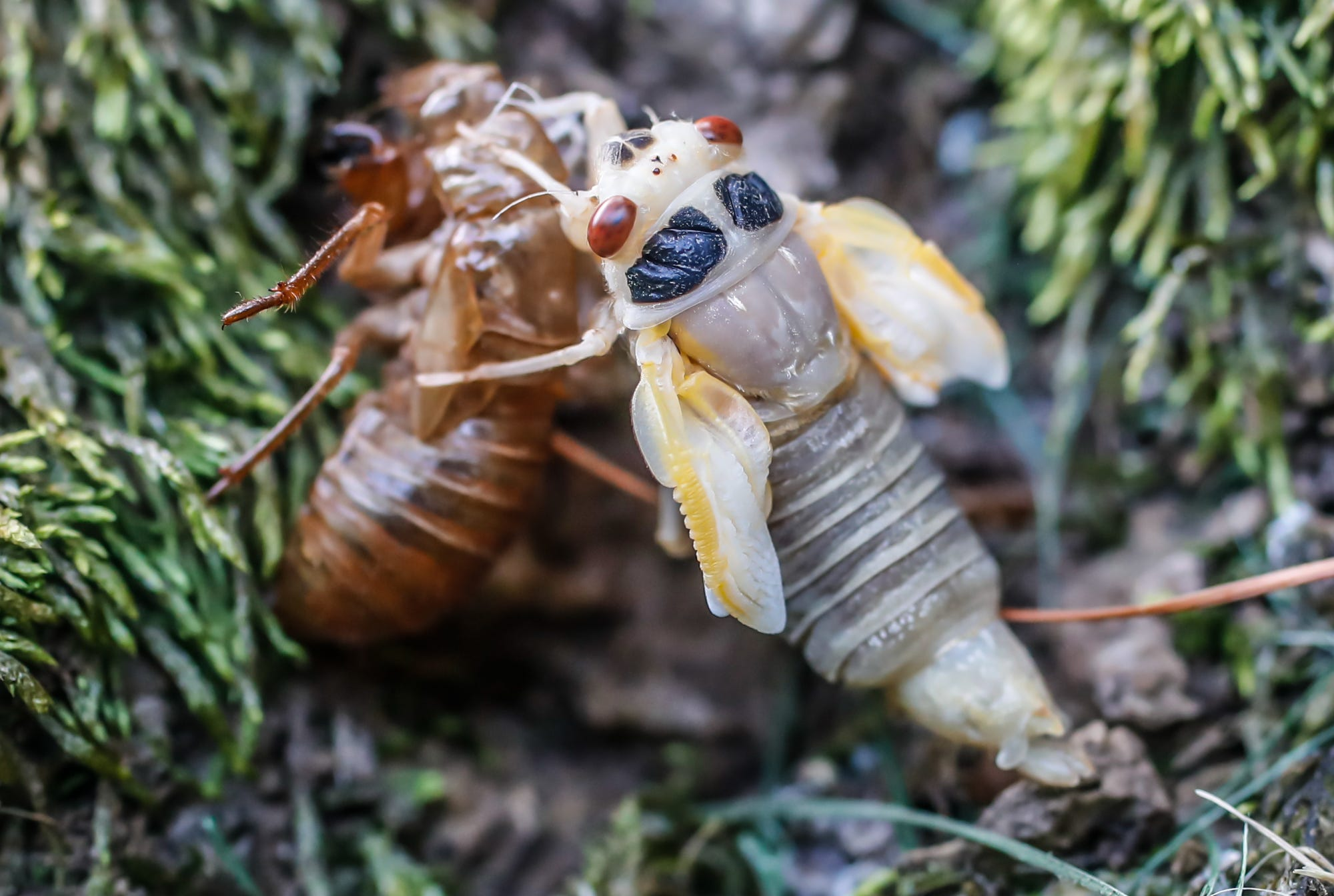 The Brood X cicadas have emerged in Central Indiana