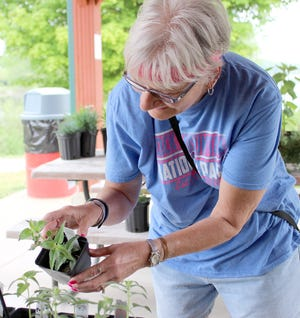 Kim Thomas, who relocated recently to Colon, spent some time before making her selections Saturday at Colon Garden Club's plant sale.