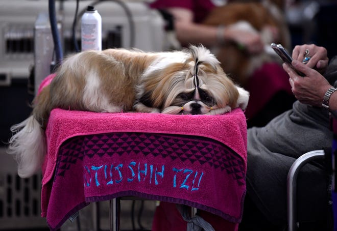 Heather, an 8-month old Shih Tzu from Denison, rests as Annette Lewis posts pictures of her dog on social media during Saturday's dog show at the Taylor County Coliseum.