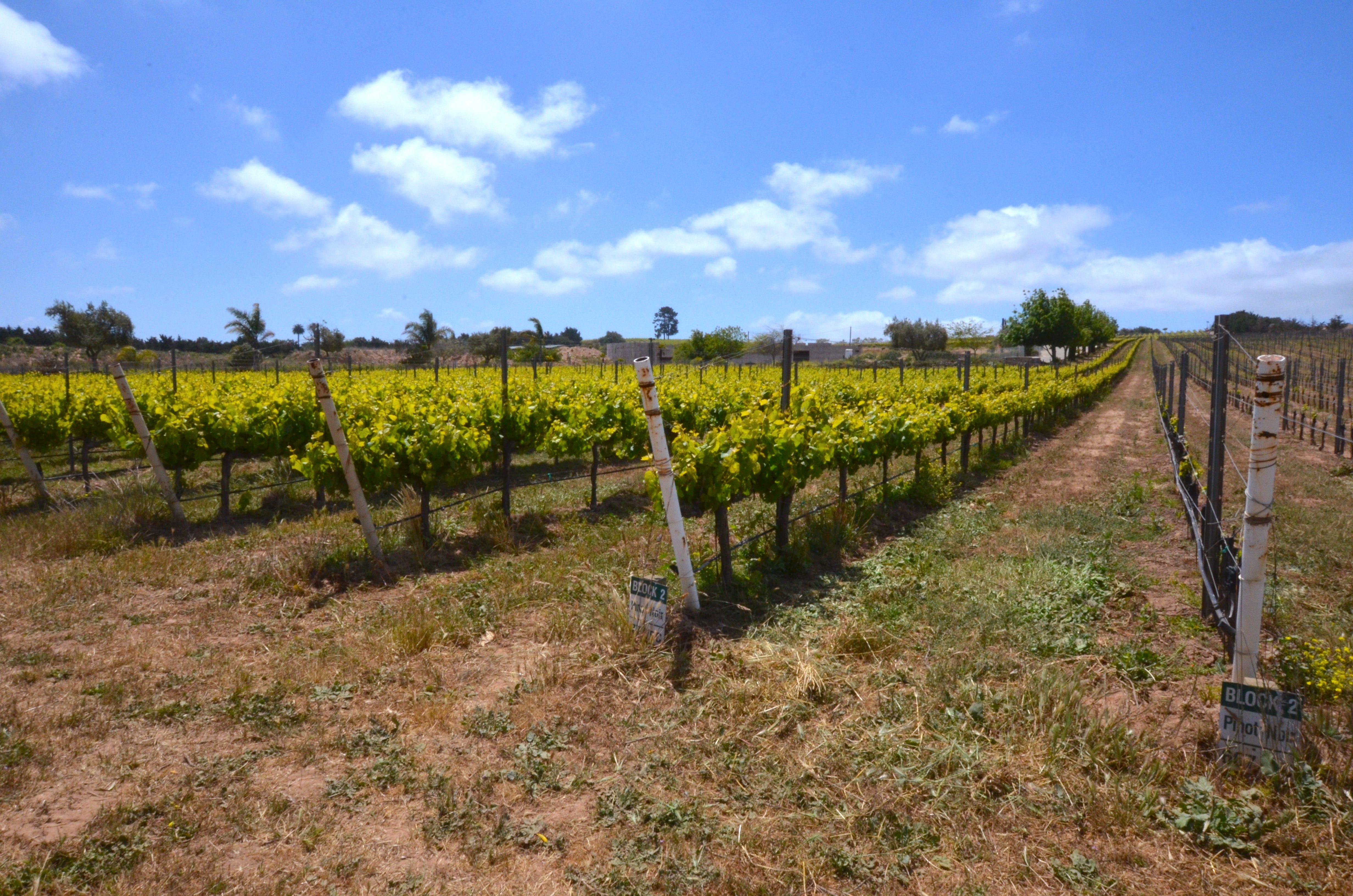 Rows of pinot noir grapes grow at Ca' Del Grevino's vineyard, owned by Randeep Grewal, near Santa Maria.