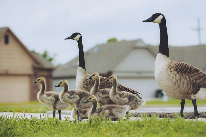 This gaggle of geese along Jefferson Road in Bartlesville is a sign of what's to come as Canada geese across Oklahoma travel with their goslings this spring.