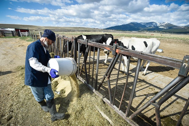 Inmate Mark McGuire feeds a small group of Holstein cows at the Montana State Prison dairy operation in May. The Montana State Prison's work program has scaled down its dairy operation from 350 head to about 70, after Darigold ended a 30-year contract.