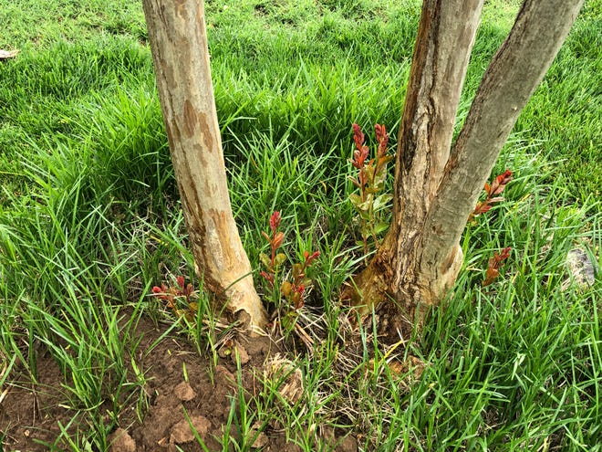 New growth, reddish in color, coming out at base of trunks or old wood on Crape Myrtles that suffered extended freezing in February. This is the next generation of life for these heat-loving shrubs.