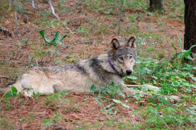 OR-93, a gray wolf, is seen near Yosemite National Park, Calif., in this February 2021 photo.