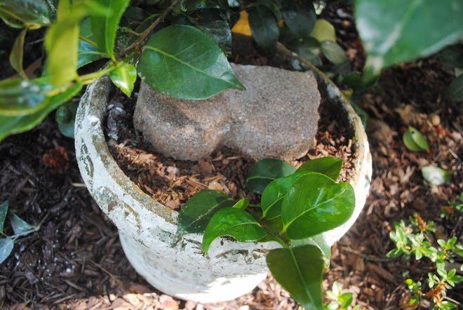 Using the container of soil, I placed the hormone-coated branch on the roughed-up soil, covered the branch with soil and secured the edger over the branch to be propagated. I will leave the brick edger in place several months, to allow time for a root system to develop. Once roots have developed, all I will have to do is to cut the branch free from the mother plant and let the new shrub continue to grow in the container. Later, when the new shrub is large enough, I will transplant it directly into the landscape.