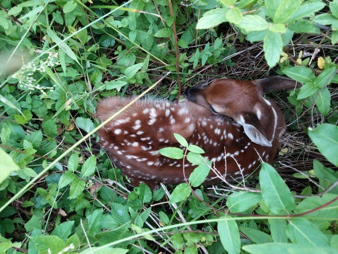 Baby fawns are among the most common animals mistaken by people as needing rescuing.