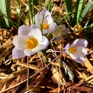 Crocuses thriving in a bed of mulch.