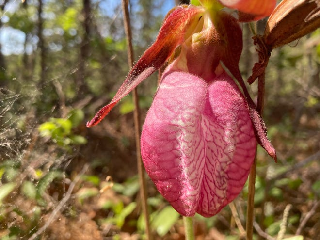 PROVINCETOWN--(5/25/21)--A stunning pink lady's slipper along a trail in the Clapp's Pond conservation area.