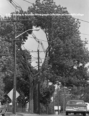 On this day in history, lifelong Brocktonian and former longtime Enterprise photographer Stanley A. Bauman photographed a tree with a doughnut-like hole across from 295 Canton St. in Stoughton. The tree, photographed on May 26, 1975, was completely cut out in the center to allow for the passage of utility wires.