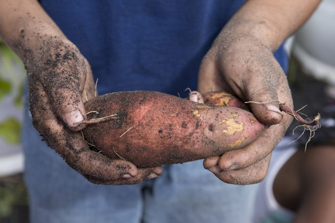 Sweet potatoes are an excellent summer vegetable crop.