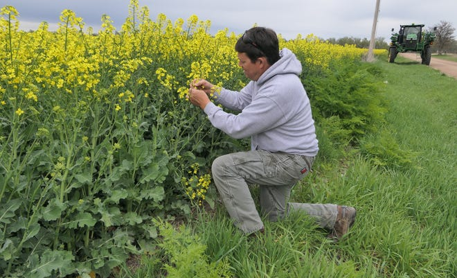 A canola plant grows on Cameron Peirce's farm in Reno County.