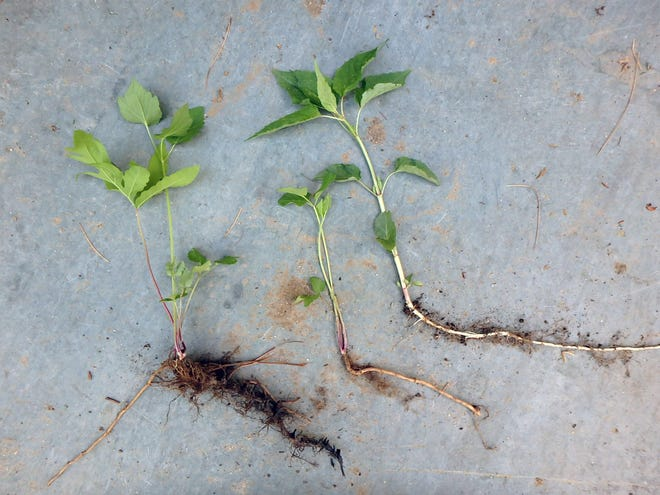 Weed roots are often long and able to send up new weeds at each node.