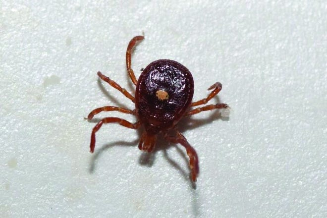The three most common ticks in Missouri include the Lone Star tick, pictured, along with the American Dog Tick and the Deer Tick. (U.S. Army photo)