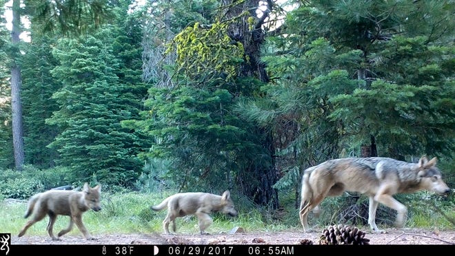 This June 29, 2017, remote camera image provided by the U.S. Forest Service shows a female gray wolf and two of the three pups born in 2017 in the wilds of Lassen National Forest in northern California. Gray wolves, among the first species protected under the Endangered Species Act in 1973, were reintroduced to Yellowstone National Park in 1995. But in other regions of the U.S., gray wolves have dispersed naturally; the population in the lower 48 states now totals about 5,500.