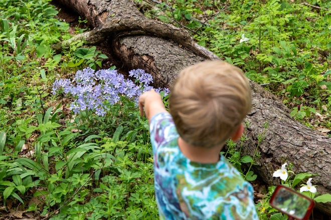 A boy poins at blue phlox in Red-tail Land Conservancy's Phyllis and Frank Yuhas Woods.