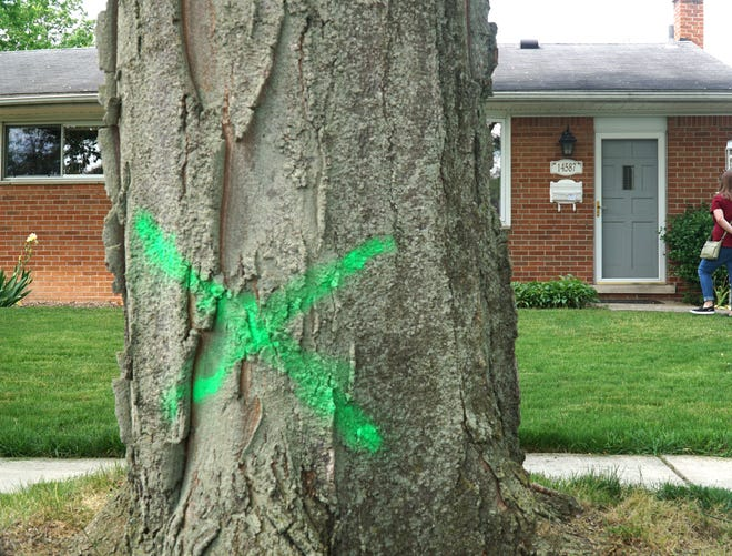 Approximately 24 out of 59 trees on Livonia resident Brent Sabo's street (and nearby neighborhoods) have been X-ed by the city for removal to make way for a sewer system upgrade. Sabo and others are hoping that many can be spared.