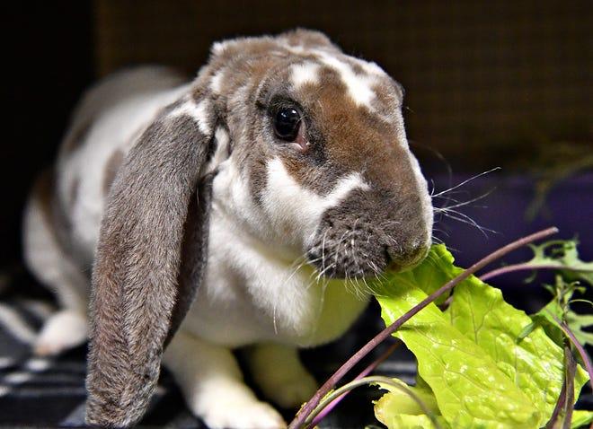 Pennsylvania rabbits could be threatened by Rabbit Hemorrhagic Disease.