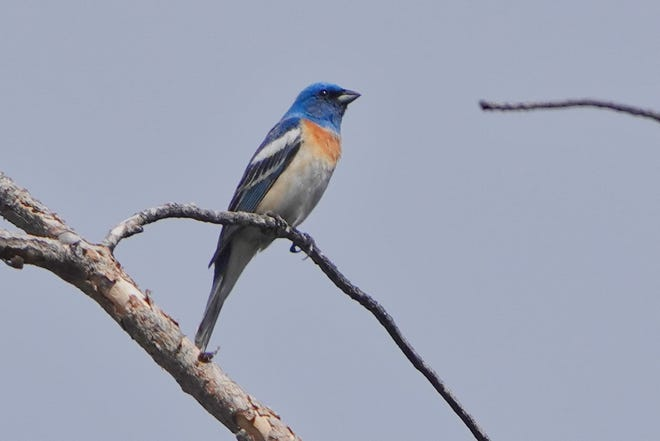 This brilliant bird, a male lazuli bunting, can be found now in North State thickets.