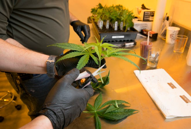 A cultivation technician works at the Manchaca facility of Texas Original Compassionate Cultivation, one of three companies licensed to produce medical marijuana in Texas, in 2018.