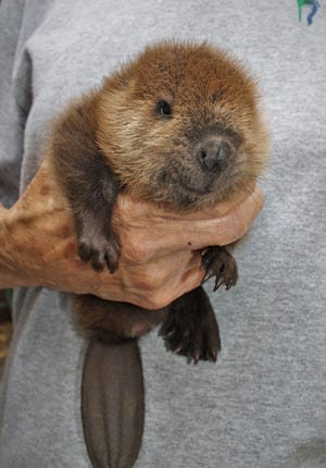 When Fran Kitchen received the 4-week old beaver to rehab in June 2020, it was a cute puffball that could fit in the palm of her hand.