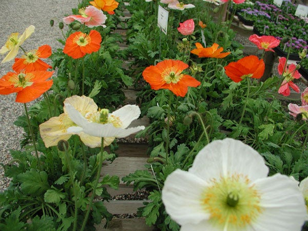 Poppies have bright, colorful flowers that will vary based on their variety. Pictured are Iceland poppies.