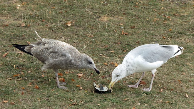 The gull on the left is trying to convince the gull on the right to share a clam lunch at Castle Island. The gull on the right originally stole the clam from the one on the left and wasn't very happy about sharing.