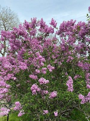 Spring is one of the most beautiful seasons at the Arnold Arboretum, especially when the lilacs are in bloom.