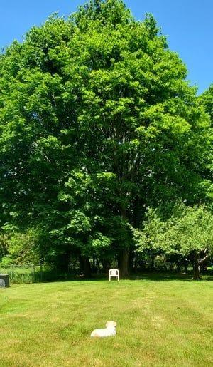 Suzette Standring's backyard oak tree