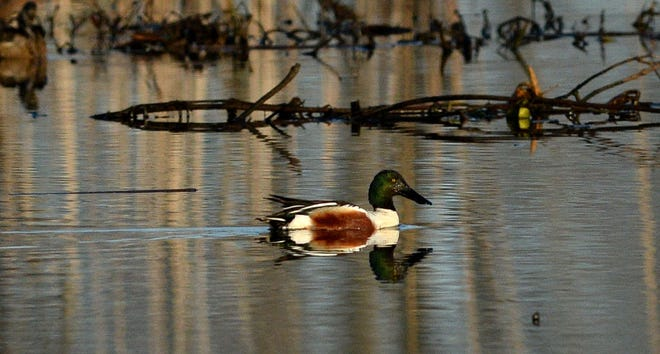 Ducks Unlimited is partnering with Cargill to help restore 6,000 acres of wetlands along the Ogallala Aquifer. Wetlands are vital to migrating ducks and geese, such as the shoveler shown feeding in the lagoons of Presque Isle State Park in Erie, Pa.