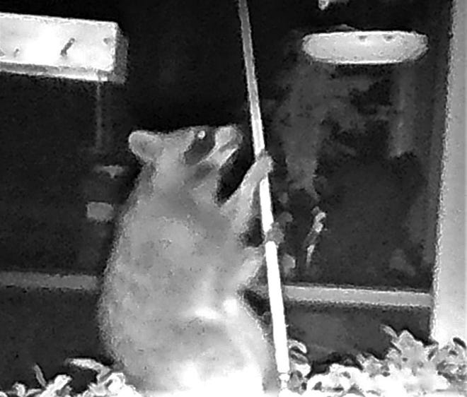 Backyard bird feeders can attract unwanted guests, such as raccoons, if feeders are not brought in at night. [Photo by Whit Gibbons]