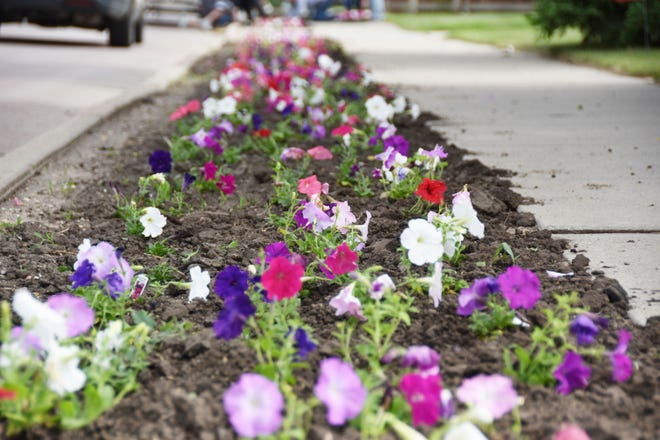 Petunias line the east side of the 300 block of U.S. Highway 81 Wednesday morning after city employees planted them. The annual spring plantings brighten the way for drivers on the four-block stretch of the highway in Watertown.