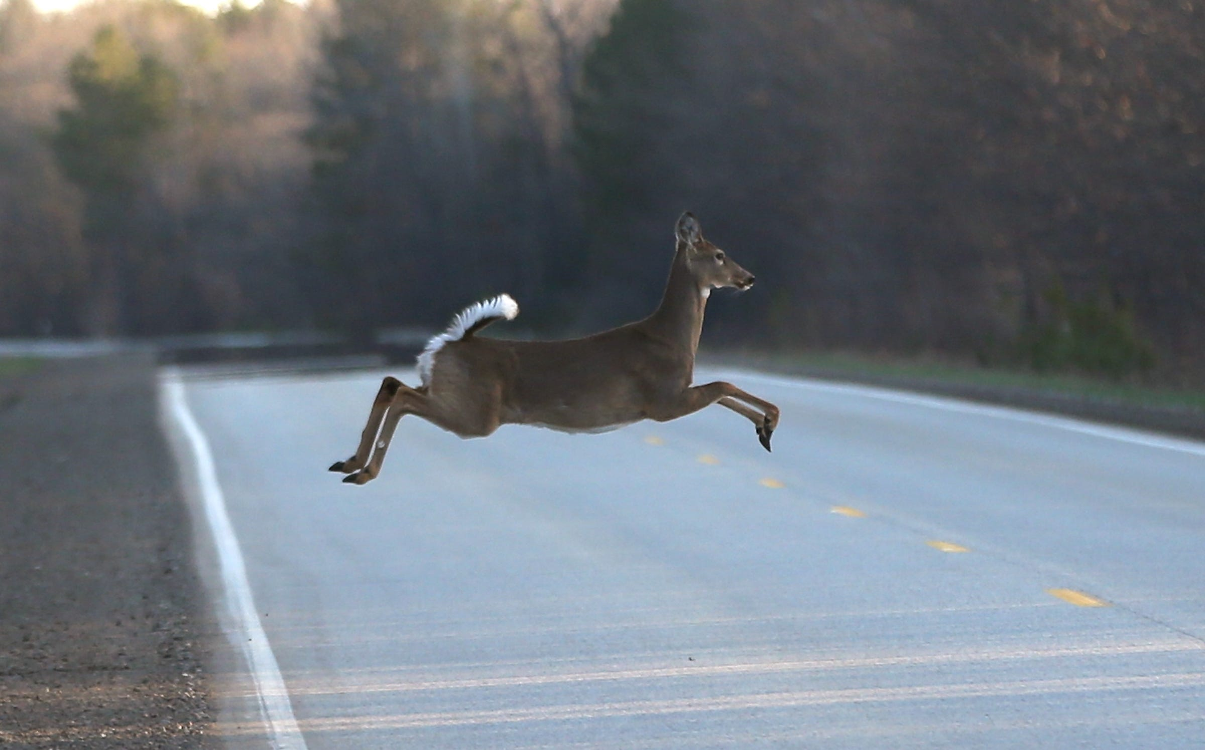 Wolves scare deer and reduce auto collisions 24%, study says 2