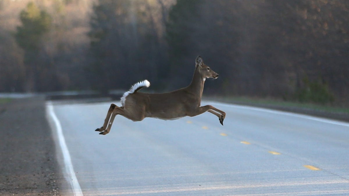 Wolves scare deer and reduce auto collisions 24%, study says 3