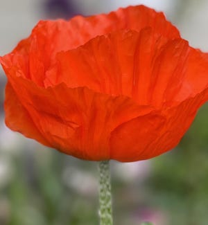 """Poppy """"Prince of Orange"""" is one of many in Dr. Rajogopal's Coralville Garden."""