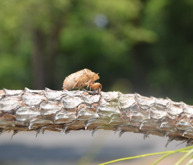 Evidence of the cicada's final molt is usually the only tangible evidence of their presence, but is a useful tool for young pranksters.