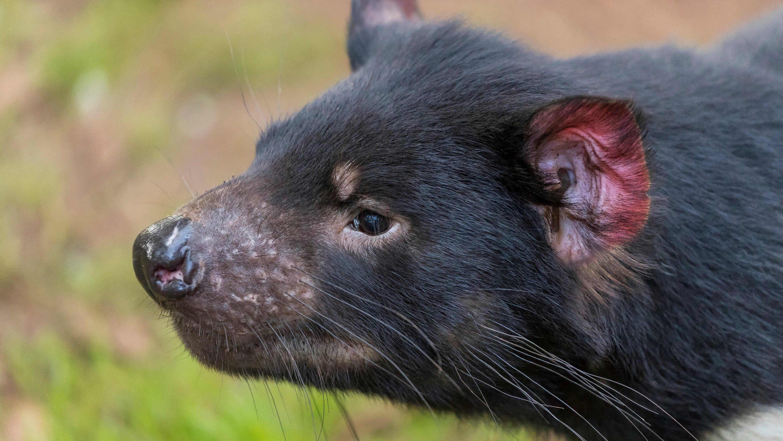 Tasmanian devils were given a safe, island home. Then the devils slaughtered 3K penguins.