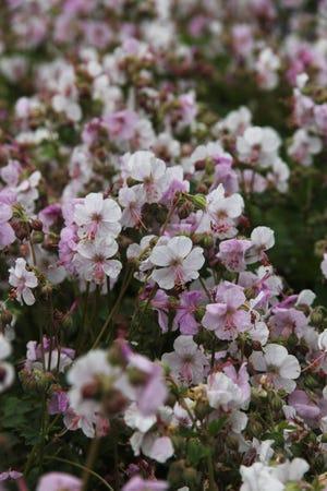 Biokovo hardy geranium, Biokovo cranesbill