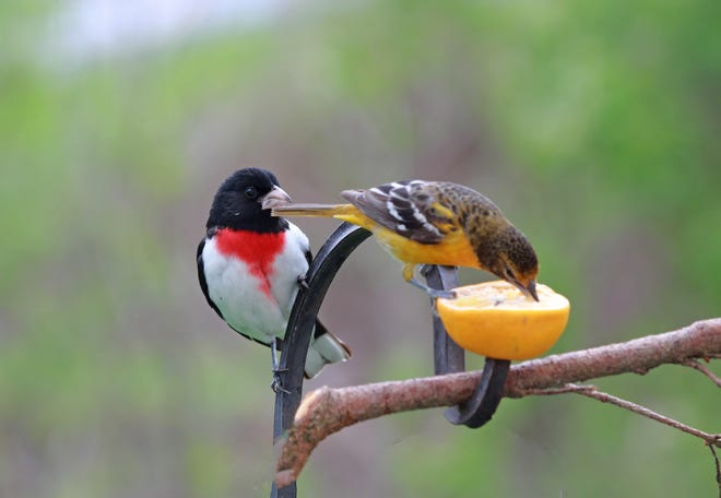 """""""I want that orange,"""" says the grosbeak to the oriole. Reader Janie Ferguson enjoys when the rose-breasted grosbeak and the Baltimore orioles come her way in the spring."""