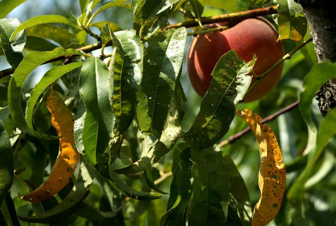 In this 2016 file photo, leaves of peach trees on a farm near Cape Girardeau, Mo., bear holes and discoloration that owner Bill Bader believed was the result of drift from illegal applications of the herbicide, dicamba, on area farms.