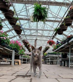 The cat at Oakridge Nursery in Brandon takes a stroll down the aisle.