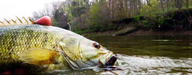 Smallmouth bass are pound-for-pound one of the hardest fighting fish you can catch and now is a great time to do so.