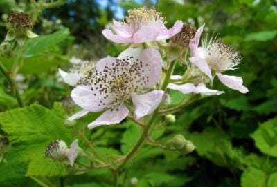 Native plants like blackberries don't require as much water or fertilizer as other plants and provide sustainable gardening.