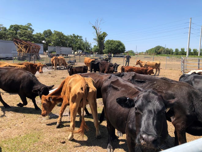 Cattle seized by Sarasota County Sheriff's Office.