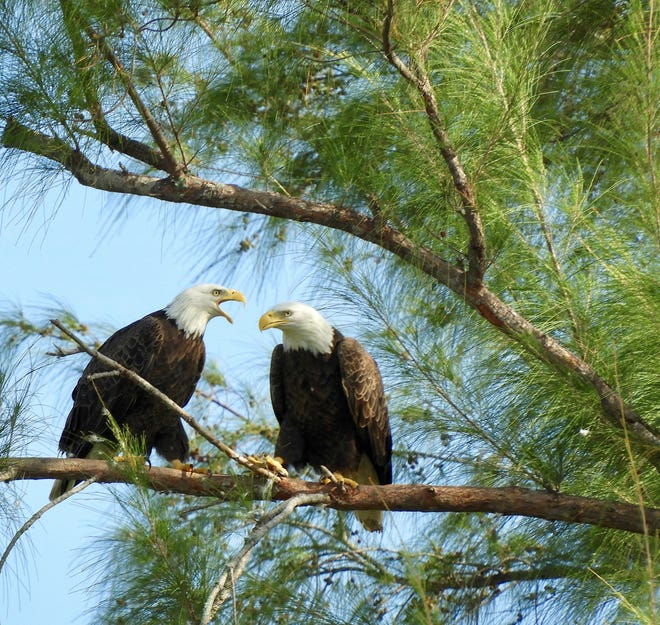 The Marco Island Nature Preserve and Bird Sanctuary is home to 20-plus bird species, including a pair of resident bald eagles.