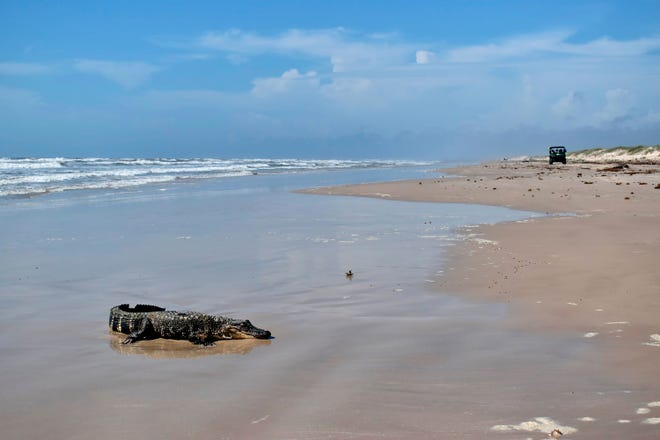National Park Service rangers from Texas' Padre Island National Seashore found an alligator earlier this week at Malaquite Beach. After checking its tail notch and tags on its rear feet, they discovered it had come from Louisiana.