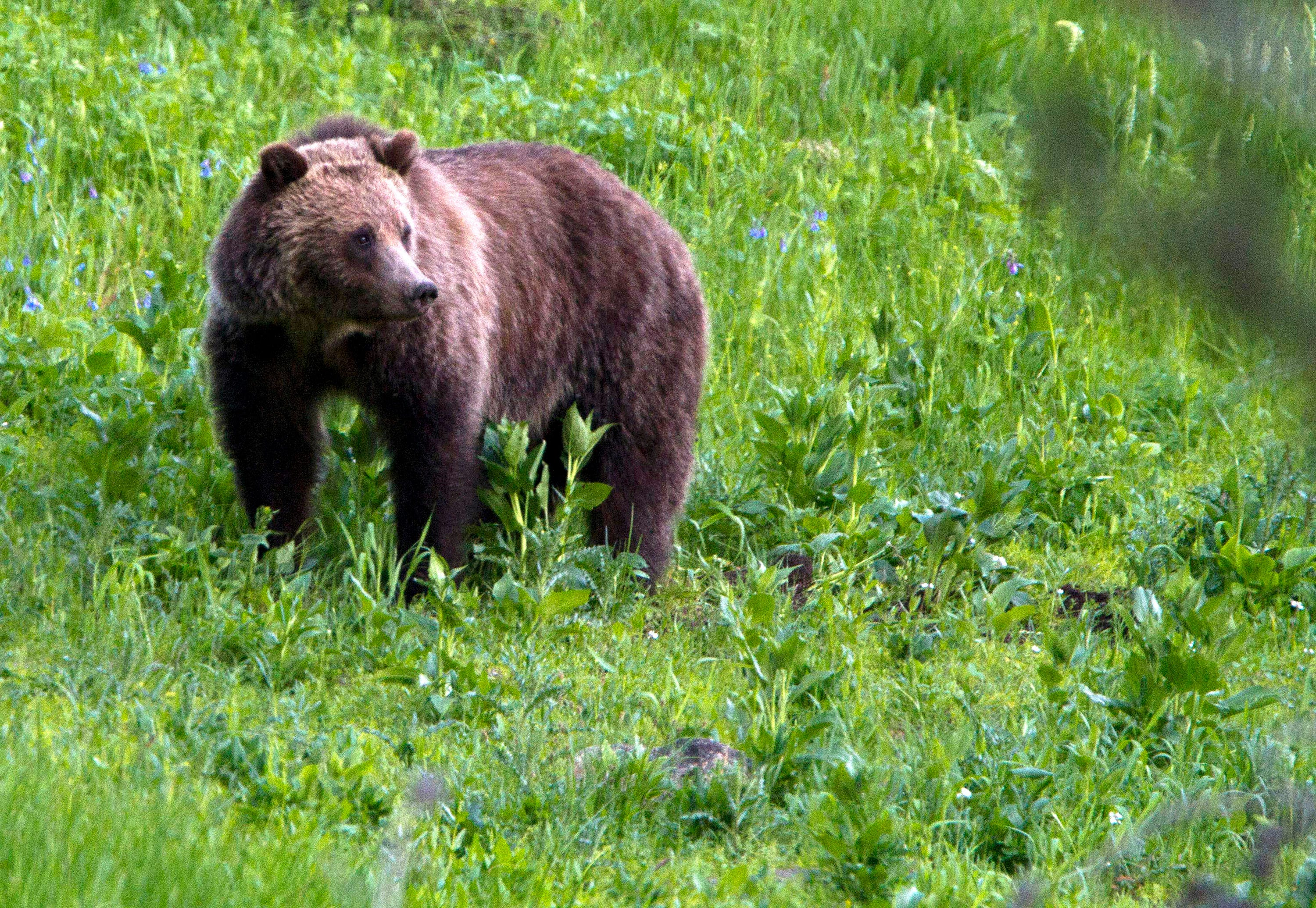 Yellowstone bear runs at woman approaching with her phone. Now, park rangers are looking for her.
